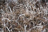 Frosty foliage in northcentral Montana