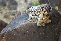 We were fortunate to see a few leopards at Mashatu Game Reserve in Botswana.