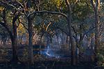 Log smoking in miombo woodland, Kafue National Park, Zambia