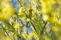 Western Tanager. Arizona-Sonora Desert Museum. Arizona