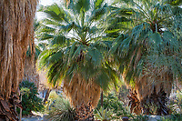 Washingtonia filifera, California fan palm trees in resilient drought tolerant garden oasis at Palm Springs Art Museum in Palm Desert, California