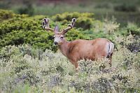 Mule Deer, Black-tailed Deer (Odocoileus hemionus), Rocky Mountain National Park, Colorado, USA