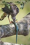 Hawk eating lizard, Pantanal, Brazil
