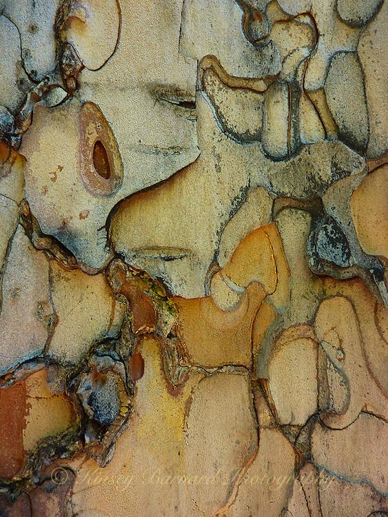 """THE NOSE""<br /> <br /> Colorful designs in Ponderosa bark"