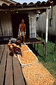 Amazon, Brazil.  Cacau (cocoa) beans spread out to dry in the sun.