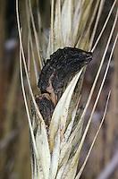 Mutterkorn auf Getreide, Mutterkornpilz, Mutterkorn-Pilz, Getreidepilz, Purpurroter Hahnenpilz, Ergot, Purpurbrauner Mutterkornpilz, Krähenkorn, Giftkorn, Hahnensporn, Hungerkorn, Tollkorn, Roter Keulenkopf, Claviceps purpurea, Secale cornutum, ergot, ergot fungus
