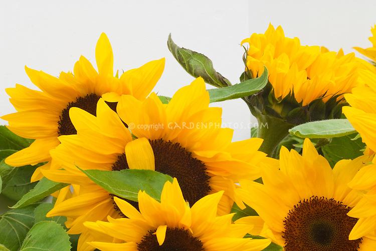 Cheerful Sunflowers 'Full Sun' Cheer Up