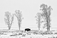 A snowstorm fell on the Lamar Valley during the last morning of my April trip.