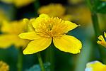 Liverwort plant close-up single flower