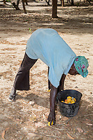 Woman Collecting  Cashew Apples and Nuts from the Ground, near Sokone, Senegal.  Fruits must be collected after they fall  to the ground, and not picked from the tree.