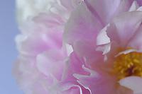 Le peonie sono erbe perenni o arbusti. Le foglie sono sempre caduche. I fiori sono grandi e molto colorati con numerosi stami.<br /> Peonies are perennial herbs or shrubs. The leaves are always deciduous. The flowers are large and very colorful with numerous stamens.