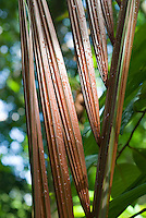 Palm Frond in sunlight,  Smithsonian Tropical Research Institute, STRI, Barro Colorado, Lago Gatun, Panama