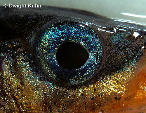 1S15-003z  Three Spined Stickleback - close-up of male eye, expanded erythrophores - Gasterosteus aculeatus