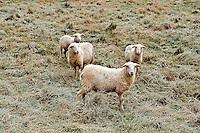Sheep, Vermont, USA