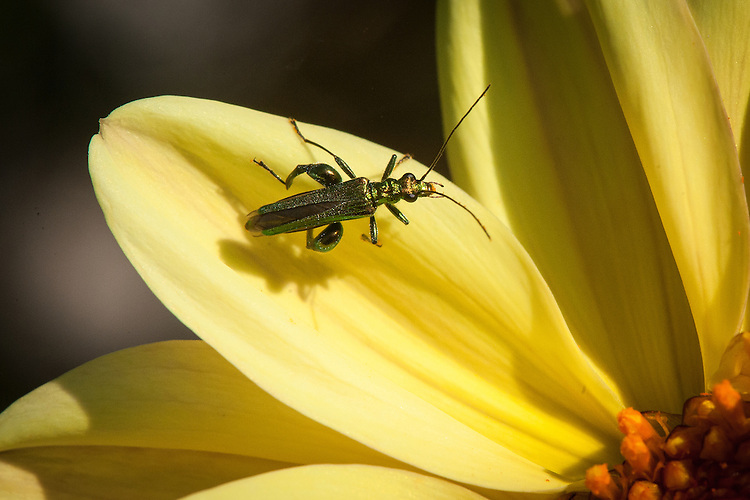 Swollen-thighed or Thick-Legged Flower Beetle (Oedemera nobilis), on dahlia, mid July.