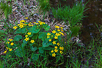 Marsh marigold growing in northern Wisconsin.