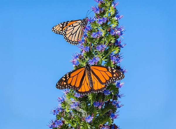 Monarch butterflies (Danaus plexippus) nectaring along Big Sur Coastline, CA.  Fall.