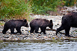 Female (sow) Grizzly Bear (Ursus arctos horribilis) with cubs (7 months old). Atnarko River, Tweedsmuir Park, British Columbia, Canada