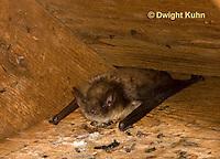 MA20-567z  Little Brown Bats, Myotis lucifugus
