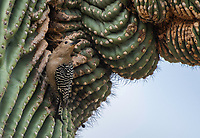 A female Gila Woodpecker, Melanerpes uropygialis, approaches its nest cavity in a Saguaro cactus, Carnegiea gigantea, in the Desert Botanical Garden, Phoenix, Arizona