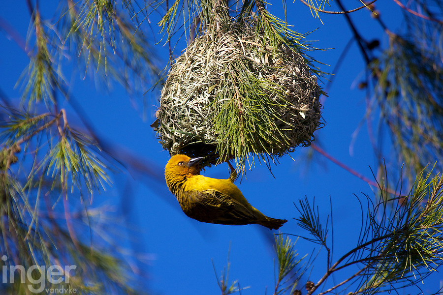 Cape Weaver Bird at Nest