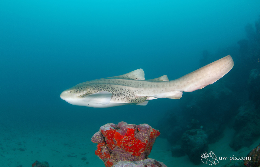 The zebra shark (Stegostoma fasciatum or varium) is a species of carpet shark and the sole member of the family Stegostomatidae. Sometimes it is also called Leopard shark. It is found throughout the tropical Indo-Pacific, frequenting coral reefs and sandy flats to a depth of 62 m (210 ft). Adult zebra sharks are distinctive in appearance, with five longitudinal ridges on a cylindrical body, a low caudal fin comprising nearly half the total length, and a pattern of dark spots on a pale background. Young zebra sharks under 50–90 cm (20–35 in) long have a completely different pattern, consisting of light vertical stripes on a brown background, and lack the ridges. This species attains a length of 2.5 m (8.2 ft).<br /> Zebra sharks are nocturnal and spend most of the day resting motionless on the sea floor. At night, they actively hunt for molluscs, crustaceans, small bony fishes, and possibly sea snakes inside holes and crevices in the reef. Though solitary for most of the year, they form large seasonal aggregations. The zebra shark is oviparous: females produce several dozen large egg capsules, which they anchor to underwater structures via adhesive tendrils. Innocuous to humans and hardy in captivity, zebra sharks are popular subjects of ecotourism dives and public aquaria. The World Conservation Union has assessed this species as Vulnerable worldwide, as it is taken by commercial fisheries across most of its range (except off Australia) for meat, fins, and liver oil. There is evidence that its numbers are dwindling.