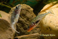 1S47-521z Threespine Stickleback, male courting gravid female with a zigzag dance, she responds with a head-up posture to display her swollen belly, Gasterosteus aculeatus