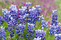 Arctic lupine along the roadside, Interior, Alaska.