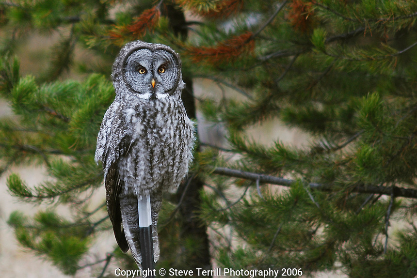 Great grey owl on fence post in Wallowa County Oregon