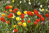 HS08-009a  Tulip garden - Tulipa spp.