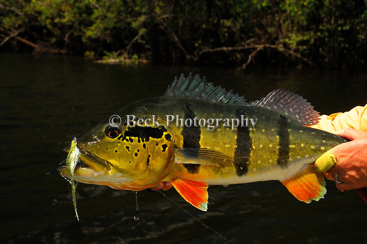 Of the three species of peacock bass on the Amazon, this variety with the stripes on the sides, is the largest.