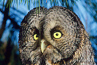 Great gray owl closeup