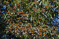 Western Monarch Butterflies (Danaus plexippus) enjoying the California sun on a warmer than usual February day.  Usually within the next few days or weeks they will start to migrate away from their wintering areas.  Monarch butterflies cannot fly if their body temperature is less than 86 degrees.  We generally assume that monarchs can fly if it is above 60 degrees F, and above 50 degrees if it is sunny. The sun allows them to warm their flight muscles enough to fly.