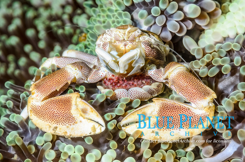 Spotted porcelain crab with eggs, Neopetrolisthes maculatus, Lembeh Strait, North Sulawesi, Indonesia, Pacific