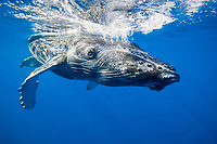 humpback whale, Megaptera novaeangliae, calf, Maui, Hawaii, USA, Pacific Ocean