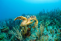 A Hawksbill Sea Turtle, Eretmochelys imbricata, swims over a coral reef in Palm Beach County, Florida. Endangered, Atlantic