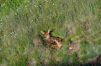 Twin Columbian black-tailed deer (Odocoileus hemionus columbianus) fawns finding resting/hiding place in mountain meadow.  Pacific Northwest.  Summer.