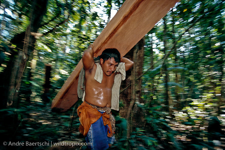 Logger carrying large board of illegally cut Spanish cedar (Cedrela odorata) towards the riverside in lowland tropical rainforest along the Las Piedras River, Madre de Dios, Peru.