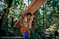 Logger carrying large board of illegally cut Spanish cedar (Cedrela odorata) towards the riverside in lowland tropical rainforest along the Las Piedras River, Madre de Dios, Peru.