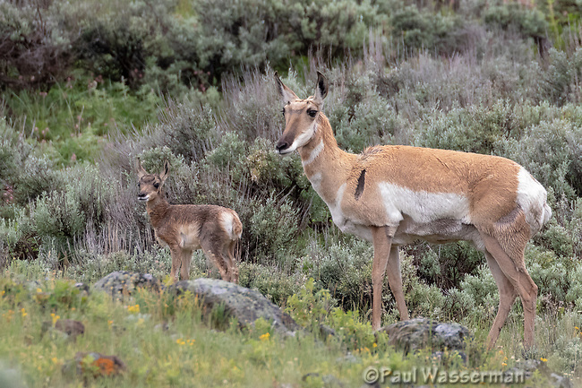 Pronghorn Antelope and fawn at Yellowstone National Park, Wyoming