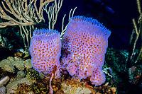 azure vase sponge, Callyspongia plicifera, Grenada, Caribbean Sea, Atlantic Ocean