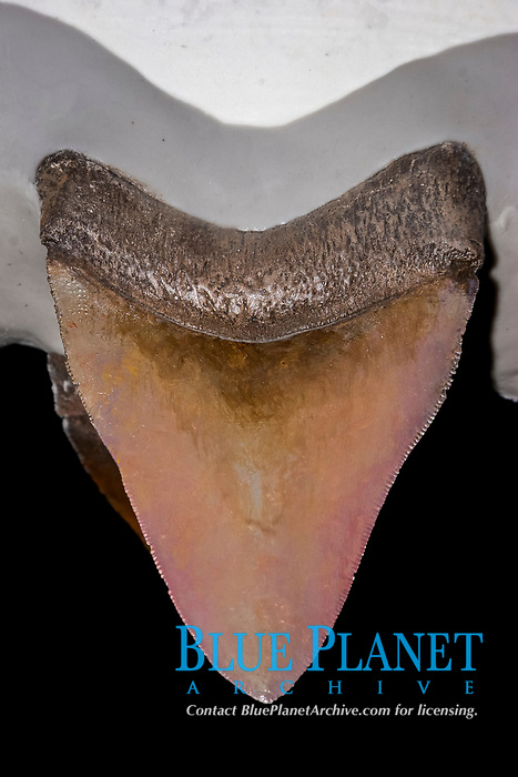 megalodon fossil tooth, Carcharocles megalodon, 15.9 - 2.6 million years old, Neogene period
