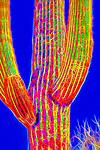 Saguaro #53