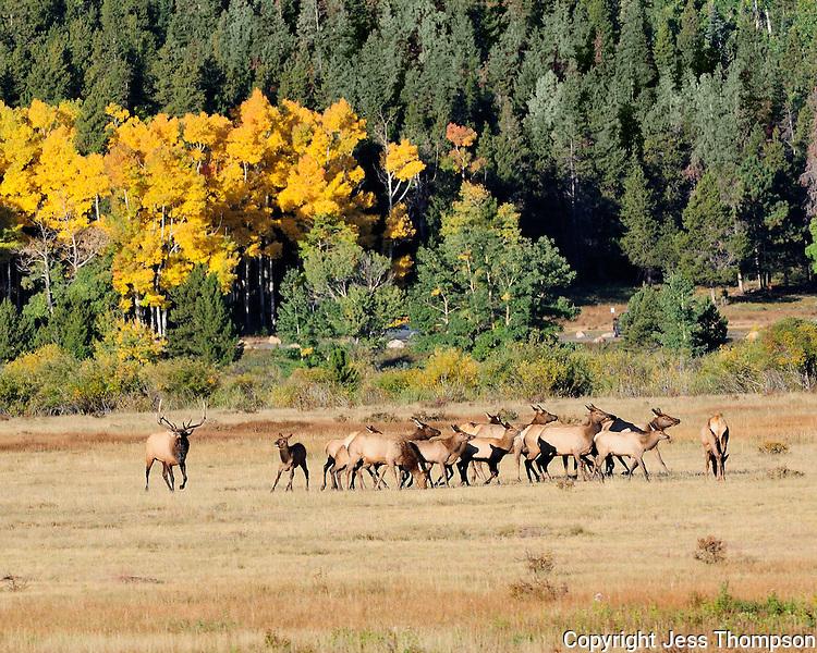 Elk Herd, Fall Colors, Rocky Mountain National Park, Colorado