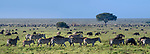 Herds of white-bearded wildebeest (Connochaetes taurinus albojubatus) and plains or Burchell's zebra (Equus quagga burchellii) on the short grass plains near Ndutu. Ngorongoro Conservation Area / Serengeti National Park, Tanzania, East Africa (digitally stitched image)