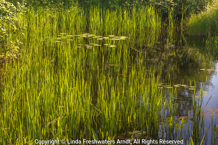 Water lilies growing on the East Fork of the Chippewa River.