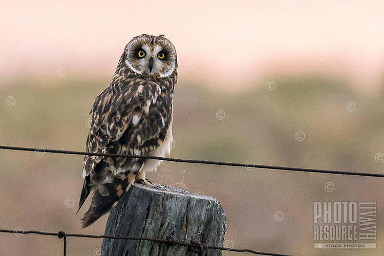 After a wet and foggy day, this pueo, or Hawaiian short-eared owl, found some time to dry off as the sun begins to set, Kamuela, Big Island.