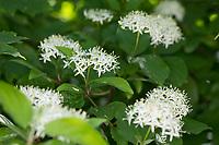 Blutroter Hartriegel, Hartriegel, Blüten, blühend, Cornus sanguinea, Common Dogwood, Dogwood, Dogberry, Cornouiller sanguin