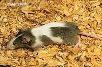 MU60-009z  Pet Mouse - exploring