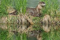 River Otter (Lontra canadensis).  Western U.S., summer.